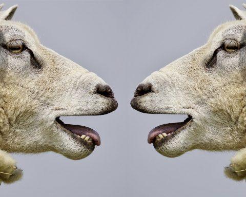 Streitkultur Schaf